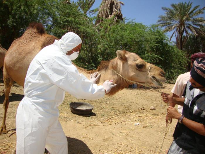 A veterinarian collects a blood sample from a camel during an investigation into the first reported MERS-CoV case in Haramout, Yemen. Scientists suspect that camels are infected with MERS-CoV by bats, and then pass the virus to humans.