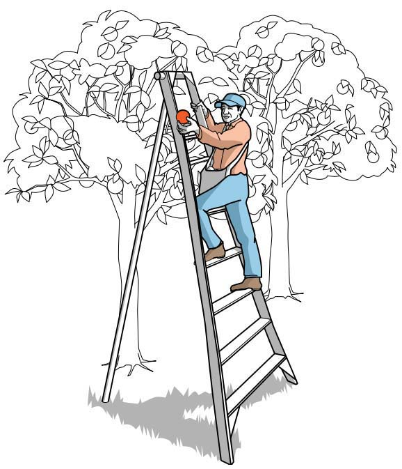 Ladder safety training should be provided before any worker is allowed to work on a tripod orchard ladder.