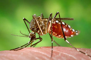 Workers who are exposed on the job to mosquitoes may be at risk for occupationally acquired Zika virus infection. Follow the OSHA/NIOSH guidance for preventing mosquito bites in order to reduce workers' risk of exposure to the Zika virus