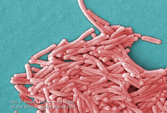 Photo Credit: CDC/Janice Haney Carr  Under a moderately-high magnification of 8000X, this colorized scanning electron microscopic (SEM) image depicts a large grouping of Gram-negative Legionella pneumophila bacteria. These bacteria cause Legionnaires' disease and Pontiac Fever, collectively known as Legionellosis.