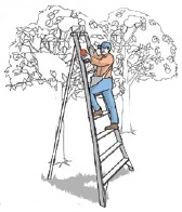 Tripod orchard ladder